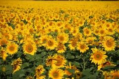 Vidsträckt fält av oavkortad blom för solrosor Arkivfoto