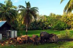 Vie à la campagne à Langkawi Image libre de droits