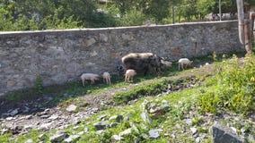 Vie à la campagne - une famille des porcs flâne près d'un mur de briques de village sur Sunny Day, Svaneti supérieur, la Géorgie Images stock