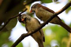 vie amoureuse à tête grise de Parrotbill Photos libres de droits