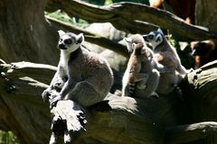 Vie de famille des singes de Lemur Ring-tailed Photographie stock libre de droits
