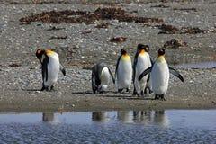Vie de pingouins de roi sauvage chez Parque Pinguino Rey, Patagonia, Chili Photos stock