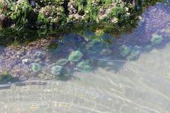 Vie marine dans la piscine de marée Photo stock