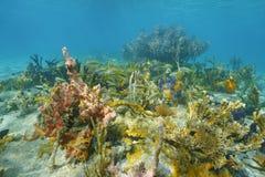 Vie marine sous-marine sur le fond de la mer des Caraïbes Photo stock