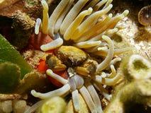 Vie marine un crabe de accrochage vert dans une anémone géante Image stock
