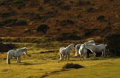 Vie semi sauvage grise de poneys sur Dartmoor Image libre de droits