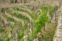 Viñedo colgante mediterráneo tradicional, Liguria Foto de archivo libre de regalías
