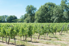 Viñedo para el vino rojo de Burdeos Imagen de archivo