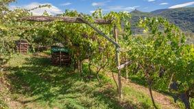 Viñedo, ruta tirolesa del sur del vino, Italia Imagen de archivo libre de regalías
