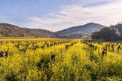Viñedos de Napa Valley y mostaza de la primavera Fotos de archivo