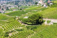 Viñedos en la región de Lavaux - terrazas de Terrasses de Lavaux, Switz Imagenes de archivo