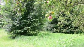Vief of apple tree. Wild-growing apple tree.  stock footage