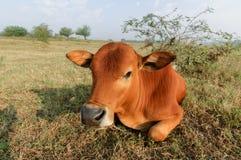 Vieh Stockbild