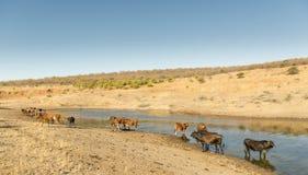 Vieh in Afrika Lizenzfreies Stockfoto