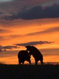Vieh-Angriff Stockbild
