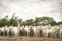 Vieh Anstarrensbrahma Lizenzfreie Stockfotos