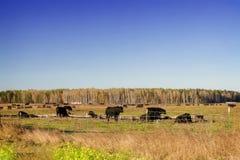 Vieh auf Ackerland bei Sonnenuntergang Stockfotografie