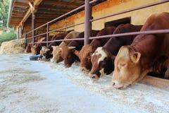 Vieh auf dem Bauernhof Lizenzfreie Stockfotografie
