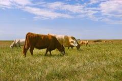 Vieh auf dem Gebiet Lizenzfreie Stockfotografie