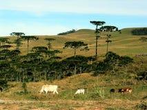 Vieh auf dem Gebiet Lizenzfreies Stockfoto