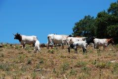 Vieh auf dem Gebiet, Andalusien, Spanien. Stockfotos
