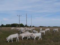 Vieh auf dem Grasland Stockbild