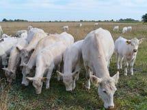 Vieh auf dem Grasland Lizenzfreie Stockfotografie