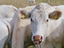 Vieh auf dem Grasland Stockfotografie