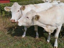 Vieh auf dem Grasland Stockbilder