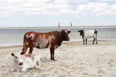 Vieh auf dem Strand Stockbild