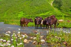 Vieh auf der Bewässerung in den Bergen. Lizenzfreies Stockfoto
