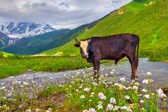 Vieh auf der Bewässerung in den Bergen. Stockfoto