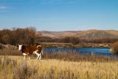 Vieh auf der Flussbank Stockfoto