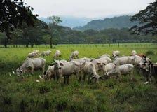 Vieh auf der Weide Stockfoto