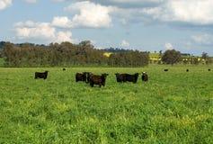 Vieh auf einem Gebiet Lizenzfreie Stockbilder