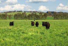 Vieh auf einem Gebiet Stockbilder