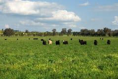 Vieh auf einem Gebiet Stockbild