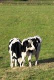 Vieh auf einem Gebiet stockfoto