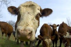 Vieh auf einem Gebiet (Weitwinkel) 01 stockfotografie