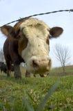 Vieh auf einem Gebiet (Weitwinkel) 02 stockbilder