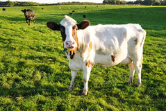 Vieh auf einem grünen Gebiet Lizenzfreies Stockbild