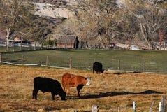 Vieh auf einer Ranch lizenzfreie stockfotografie