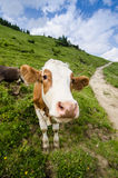 Vieh auf einer Weide mit blauem Himmel und Wolken Lizenzfreie Stockbilder
