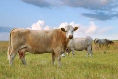 Vieh auf Grasland Stockbilder
