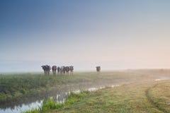 Vieh auf Morgenweide im Nebel Stockfotos
