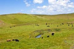 Vieh auf Rolling Hills Stockfotos