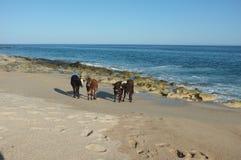 Vieh auf Strand Stockbilder