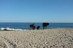 Vieh auf Strand Stockfotos