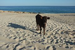 Vieh auf Strand Lizenzfreie Stockfotografie