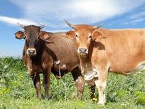 Vieh auf Weide Stockbild